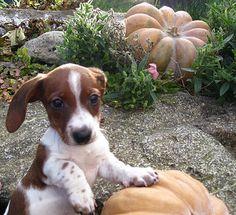 Piebald Dachshund with beautiful pumpkins Piebald Dachshund, Dachshund Funny, Dachshund Puppies, Weenie Dogs, Dachshund Love, Daschund, Cute Puppies, Dogs And Puppies, Doggies