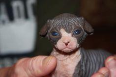 Cute tuxedo baby sphynx kitten