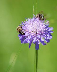 Futterinsel im Grünen ... . . . #insect #bees #pollen #insects #outdoors #flower #floweroftheday #bee #flowerstagram #hike #nikon #nofilter