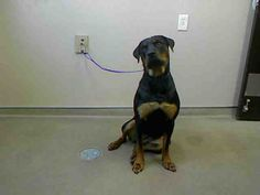 BELLA-ID#A684364  My name is BELLA.  I am a spayed female, black and brown Rottweiler.  The shelter staff think I am about 1 year and 4 months old.  I have been at the shelter since Jun 09, 2013.