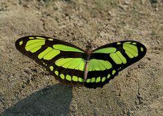 Butterflies of Amazonia, Brazil