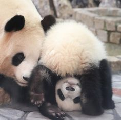 Duke university in durham nc born is reunited think you know about. Panda bears do not hibernate the s have 6 fingers jiao qing. Big Panda, Panda Bebe, Cute Panda, Panda Panda, Cute Funny Animals, Cute Baby Animals, Animals And Pets, Baby Pandas, Wild Animals