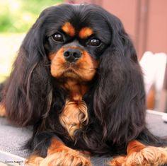 beautiful black and tan Cavalier