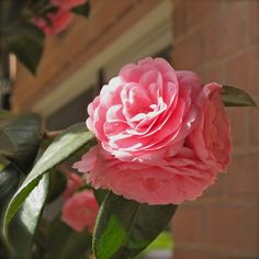 Evergreen shrub w flowers in winter & spring  'April Kiss' Camellia