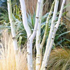 Buy west himalayan birch multi-stem Betula utilis var jacquemontii: Delivery by Waitrose Garden in association with Crocus Back Gardens, Small Gardens, White Bark Trees, Himalayan, Stipa, Baumgarten, White Plants, Moon Garden, Woodland Garden