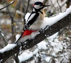 Downy woodpeckers can be found at my house eating the Suet