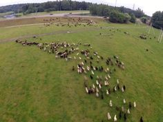 Drone works as a shepard in moscow region, Russia
