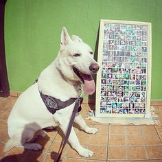 InstaPoster de @rufioocachorro Fotos Do Instagram, Periodic Table, Husky, Dogs, Animals, Art, Periotic Table, Animales, Animaux