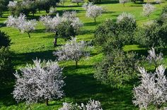 Almond Trees in Bloom, Mallorca.