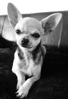 Chien - Chihuahua - HELIOS on www.yummypets.com Dog, pets, animals, woof…