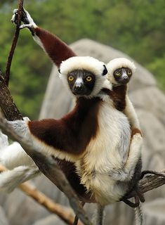 baby sifaka, too cute