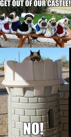 Grumpy cat in pugs' castle