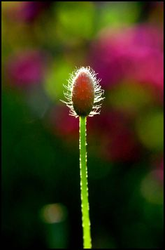 ♂ Bokeh photography nature Papaver orientale by Poesie