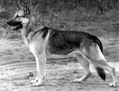 "Champion German shepherd ""Orest of Brittas,"" from 1938. #germanshepherd"