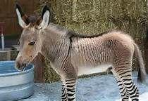 zonkey - Bing Images