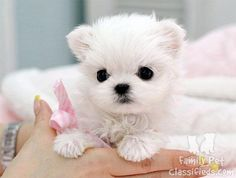 maltese toy puppies - Yahoo! Search Results