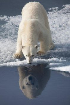 Polar bear intrigued by his own reflection. More info: http://expeditionsblog.silversea.com/post/2012/08/03/Highlights-of-Svalbard.aspx#