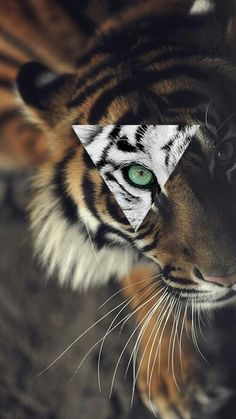 Tigre y triangulo. Wallpaper hipster
