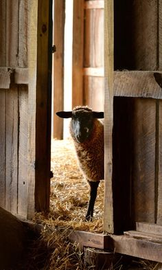 Country Living ~ Sheep