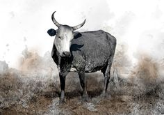 Available in a range of sizes. - Delivery is FREE to anywhere in South Africa! Watercolours, Cattle, South Africa, Moose Art, Delivery, Canvas Prints, Range, Free, Animals