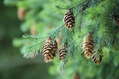 Needle-shaped leaves and cones are common to all conifers.
