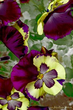 Pansies filtered in Photoshop.
