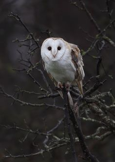 Barn Owl. I love everything about this picture. Not my photo though- wish I could credit the photographer