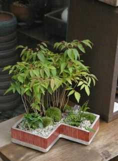 ハゼの木盆栽