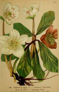 img/gravures anciennes de fleurs/gravure couleur ancienne de fleur