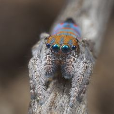 _X8A0380 peacock spider Maratus jactatus | by Jurgen Otto