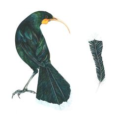 'The Price of a Feather' 2012 Female Huia / New Zealand ©Helen Taylor Maori Patterns, Graphic Patterns, Mural Ideas, Art Ideas, New Zealand Tattoo, Nz Art, Maori Art, Bird Art, Watercolor Art