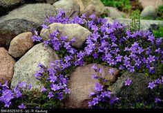 ), Rock Garden With Bellflower Stock … Bellflower (campanula Spec. Flower Garden, Garden Design, Plants, Rock Garden Design, Rock Garden Plants, Outdoor Gardens, Landscaping With Rocks, Rockery Garden, Garden Planning