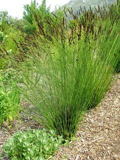 Restios grass Life On Mars, Water Wise, Drought Tolerant, Herbs, Yard, Patio, Grasses, Landscape, Bouquets