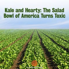 As nitrates seep into aquifers in California's Salinas Valley, local scientists are working to improve water quality. More here: http://www.cornucopia.org/2014/12/kale-hearty-salad-bowl-america-turns-toxic #kale #salads #food #foodsafety The Cornucopia Institute