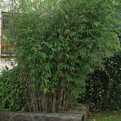NEW!  Fargesia nitida Tall clumping Bamboo with slightly cascading form giving the appearance of a fountain, this is the variety that Giant Pandas lov