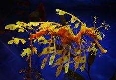 Leafy sea dragon. Monterey Aquarium, US. Cora's fave on our trip!