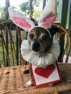White rabbit dog costume for Alice in Wonderland theme (collar is coffee filters, vest is felt attached to Velcro wrap around, ears are from amazon)