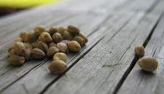 Utilisation de graines de chanvre