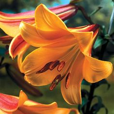 African Queen Trumpet Lily 1 Bulb 24/26 cm - Yellow/Orange/Brown