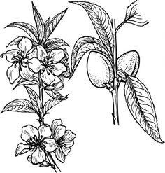 outline plants tree plant lineart nut warszawianka bw