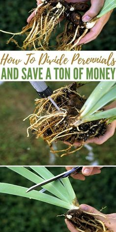 How To Divide Perennials And Save A Ton Of Money - Knowing How To Divide Perenni. How To Divide Perennials And Save A Ton Of Money - Knowing How To Divide Perennials can save you a ton of money and make your garden look fantastic this year! Garden Shrubs, Lawn And Garden, Garden Plants, Garden Landscaping, Landscaping Ideas, Garden Shade, Potager Garden, Garden Pond, Fruit Garden