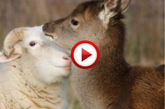 The deer that thinks it's a sheep, so cute.