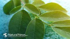 Sa Defenza: Moringa - previene il cancro, il diabete, cura l'a...