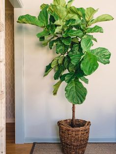 Fiddle Leaf Fig Tree............can grow more than 8 feet tall. Great for indoor use with plenty of indirect sunlight.