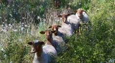 Goats in Provence @C
