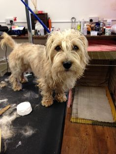 Hairy Benji the Sporting Lucas Terrier, before his hand strip.