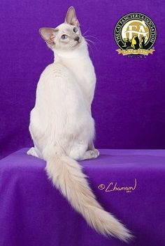 Breed Profile: The Balinese Cat Fanciers Association, largest registry of purebred cats. This is an ideal example of a balinese. Not stocky (big) as in some other photos on here!