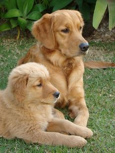 """Receive excellent ideas on """"golden Labrador"""". They are on call for you on our site. Collie Puppies, Bulldog Puppies, Cute Puppies, Cute Dogs, Dogs And Puppies, Puppies Tips, Doggies, Chien Golden Retriever, Golden Retrievers"""