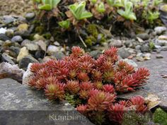 "Sedum reflexum ""Red Form"" 