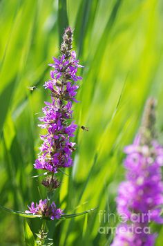 Purple and green colors dominate the scene, fresh grass growing in the nature violet flowers offer a high contrast image with small insects which feed on the flowers.